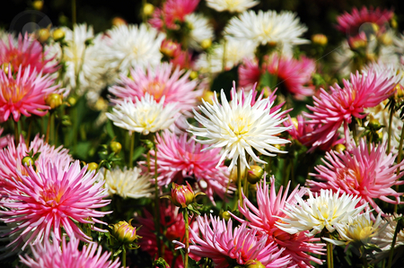 Pink and white dahlias stock photo, Bunch of pink and white dahlia flowers by perlphoto