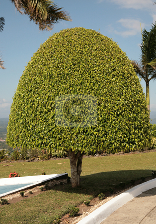 Tree stock photo, A small ficus tree on a garden with sunny weather. by Juan Jose Gutierrez Barrow