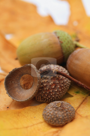Acorns stock photo, Still life of two acorns on a yellow oak leaf by Porto Sabbia