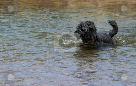 Dog Ball Water stock photo, Black small dog playing with a yellow tennis ball. by Henrik Lehnerer