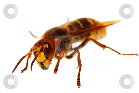 Hornet stock photo, Big  hornet of stand on white background by Jolanta Dabrowska