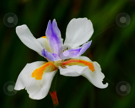 Iris Wild Fairy stock photo, A colorful Iris Wild Fairy nice seperated from the background by Henrik Lehnerer