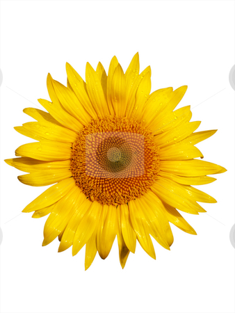 Sunflower macro stock photo, Macro of a beautiful sunflower with dew drops isolated on white by Laurent Dambies