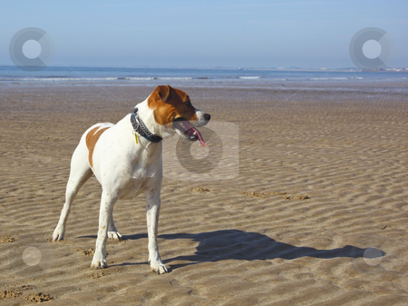 Dog on a beach stock photo, A happy dog looking down a beach by Mike Smith