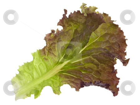 Red and green leaf of lettuce stock photo, Single leaf of green and red lettuce isolated on white by Marek Uliasz