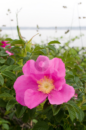 Rugosa Rose stock photo, Rugosa roses is native to New England in addition to China and Japan. by Todd Arena