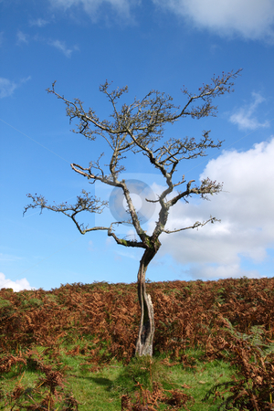 Old gnarled tree with no leaves on Dartmoor, England UK. stock photo, Old gnarled tree with no leaves on Dartmoor, England UK. by Stephen Rees