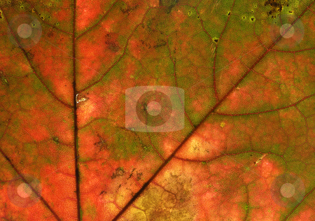 Orange fall leaf macro background. stock photo, Orange fall leaf macro background. by Stephen Rees