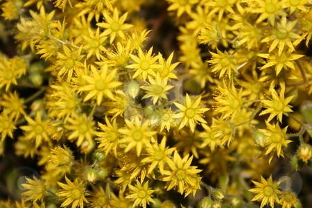 Yellow flowers stock photo, Yellow flowers by Minka Ruskova-Stefanova