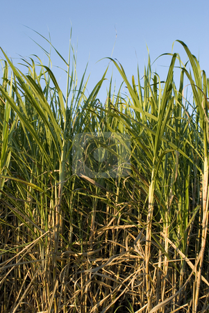 Ripe sugar cane stock photo, Sugar cane ready to be harvested, Queensland, Australia by Stephen Gibson