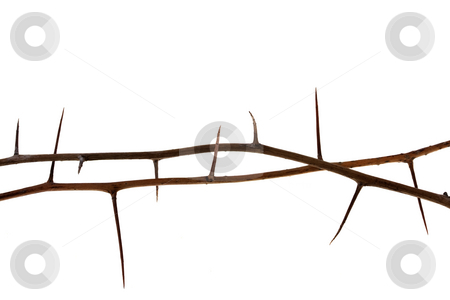 Two thorny tree twigs stock photo, Two dried tree twigs with long thorns isolated on white by Marek Uliasz
