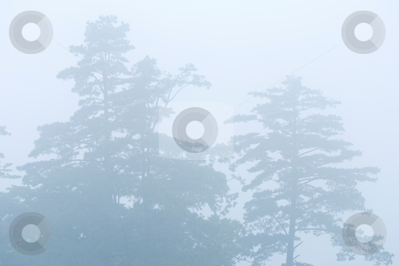Pine tree in the forest with fog stock photo, Pine tree in the forest with fog, natural woodland. by Lawren