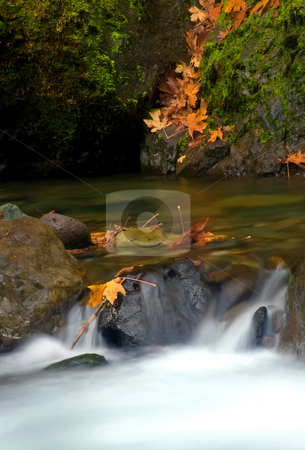 Maple Leaf Cascade stock photo, Maple leaves cascade down a moss covered bank as a rushing stream cascades over rock and boulder in the forests near Mt. Rainier by Mike Dawson