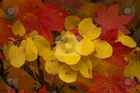 Crimson and Gold stock photo, Aspen and Vine Maple leaves adorned un autumn color. by Mike Dawson