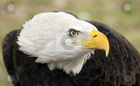 Eye of the Eagle stock photo, An American Bald Eagle stares at a potential threat by Mike Dawson