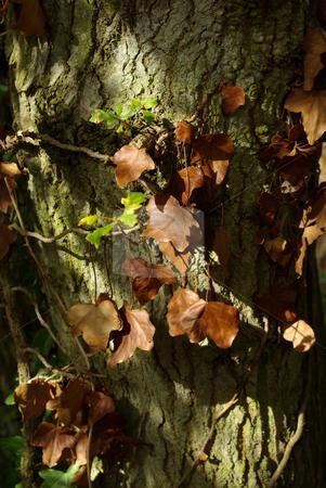 Ivy winding around tree trunk in Autumn stock photo, Ivy winding around tree trunk in Autumn by Stuart Atton