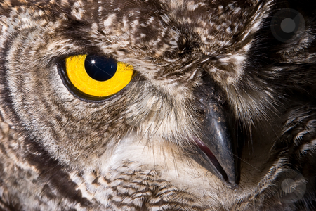 Spotted Eagle Owl stock photo, African Spotted Eagle Owl with large piercing yellow eyes in macro portrait by Adriaan Van den Berg