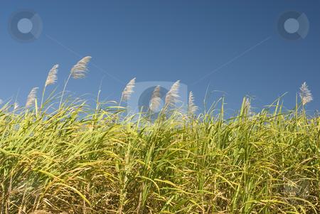 Sugar Cane stock photo, Sugar cane growing on a farm in far North Queensland by Stephen Gibson