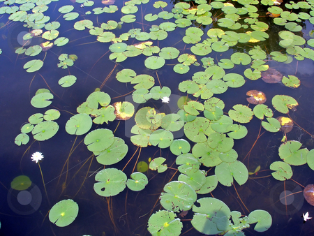 Lily Pads stock photo, A lot of lily pads on a lake by Lucy Clark
