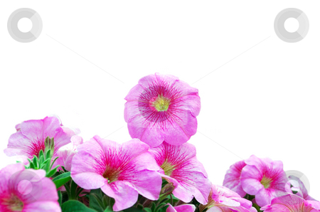 Beautiful Pink Petunias stock photo, Beautiful Pink Petunias Over White Background by Skovoroda