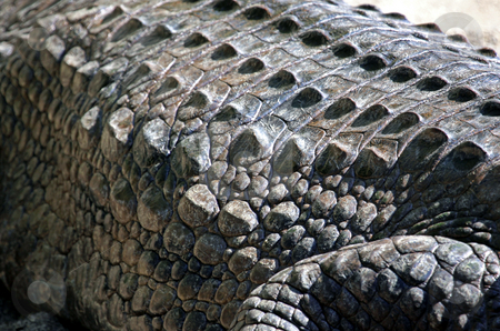 Crocodile skin close up stock photo, Closeup of protective armored skin on back of crocodile outdoors. by Martin Crowdy