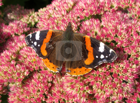 Colorful British Red Admiral butterfly (Vanessa atalanta) on a sedum flower. stock photo, Colorful British Red Admiral butterfly (Vanessa atalanta) on a sedum flower. by Stephen Rees