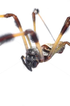 Macro Banana Spider 2 stock photo, Golden Silk (Banana) Spider (Nephila clavipes) macro on white by A Cotton Photo