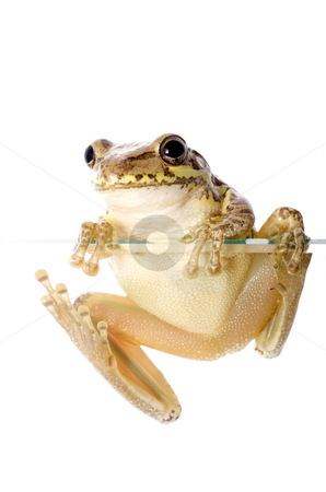 Cuban Tree Frog Climbing stock photo, Cuban Tree Frog (Osteopilus septentrionalis), an invasive species in the United States, climbs over the edge of a glass wall. Conceptualizing the species invasion on a white background. by A Cotton Photo