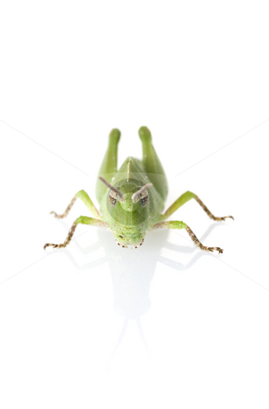 Grasshopper Front View stock photo, Front view of a Florida purple striped grasshopper (Hesperotettix floridensis) nymph isolated on white with reflection by A Cotton Photo