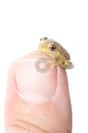 Frog on Thumb stock photo, A baby tree frog sits on the tip of a thumb. by A Cotton Photo