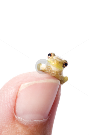 Frog Plotting World Domination stock photo, A humorous pose of a baby cuban tree frog on the tip of a human thumb, apparently plotting like an evil villian.  Cuban Tree Frogs are a concern due to their invasion of the United States.  concept shot in studio. by A Cotton Photo