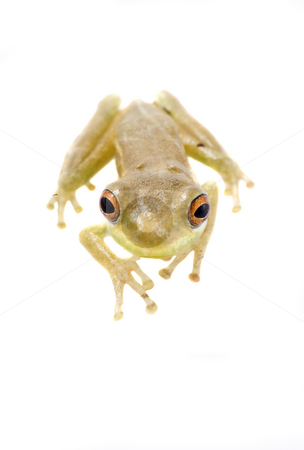 Baby Tree Frog 09-01 stock photo, Baby tree frog isolated on a white background in studio by A Cotton Photo
