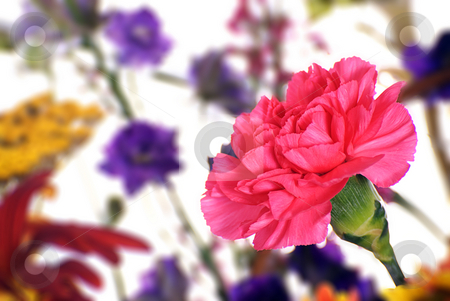Pink Carnation stock photo, An open pink carnation in focus with more flowers behind it out of focus by Richard Nelson