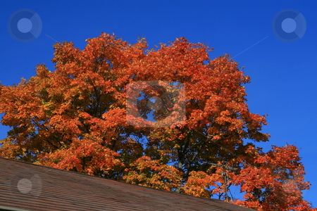 Fall Colors stock photo, Bright fall colorsof  maple tree above roof by Jack Schiffer