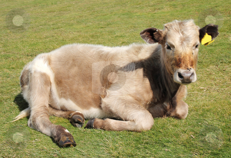 A young calf having a rest. stock photo, A young calf having a rest. by Stephen Rees