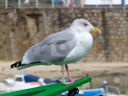 A seagull in Mousehole, Cornwall UK. stock photo, A seagull in Mousehole, Cornwall UK. by Stephen Rees