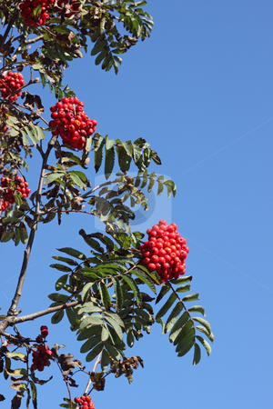 Colorful red berries on a tree and blue sky. stock photo, Colorful red berries on a tree and blue sky. by Stephen Rees