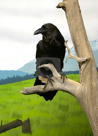Raven stock photo, Stuffed black bird in a wildlife museum display. by Andrew Orlemann