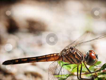 Dragonfly Macro stock photo, Dragonfly by Jim DeLillo