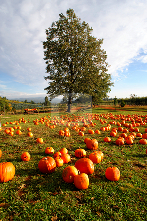 Pumpkins stock photo, Pumpkins layed out in a farm grassy area available for sale to the public with rolling hills and orchards in the background with a bright blue sky. by Lynn Bendickson