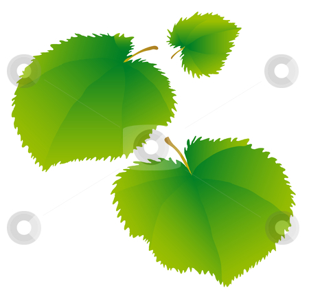Lime leaves stock vector clipart, Young green leaves of a linden. by Liubov Nazarova