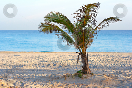A lonely palm tree in a deserted beach in the morning stock photo, A  palm tree in a deserted beach in the morning by Karel Miragaya