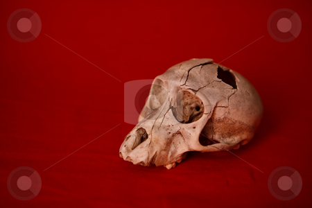 Skull stock photo, A monkey skull with a hole in the head n a red background by Ian Genis