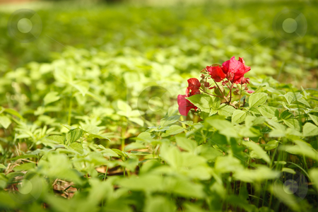 Red Flower stock photo, Red Flowers in a green field of leaves in the late sun8 by Ian Genis