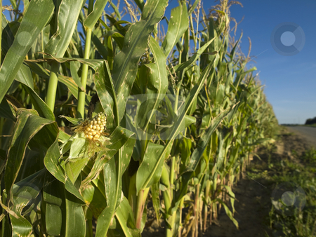 Corn field stock photo, A corn field in Brittany, France. by Ignacio Gonzalez Prado