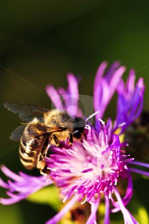 Honey bee on Knapweed stock photo, Close up of honey bee on knapweed flower by Elena Elisseeva
