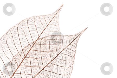 Skeleton leaves stock photo, Closeup of dried rubber tree skeleton leaves by Elena Elisseeva