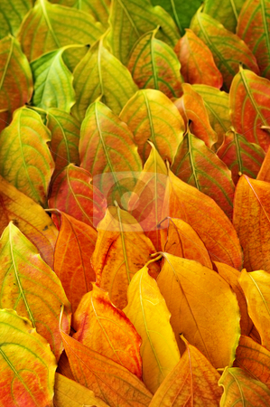 Autumn leaves background stock photo, Colorful fall background of arranged autumn leaves by Elena Elisseeva