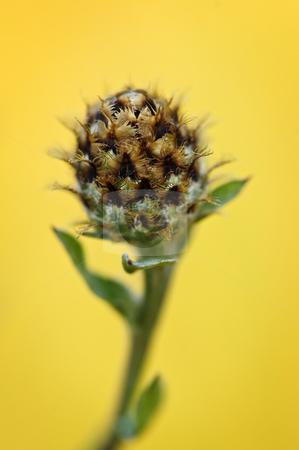 Knapweed plant stock photo, Close up view of purple knapweed plant by Elena Elisseeva