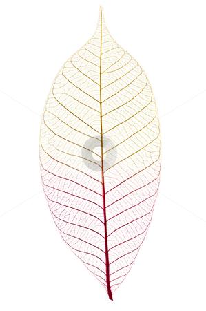 Skeleton leaf stock photo, Closeup of dried rubber tree skeleton leaf by Elena Elisseeva